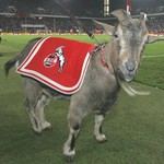 Hennes VIII, FC Cologne